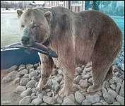 Houston B.C. 975 Pound Hungry Hill Grizzly Bear