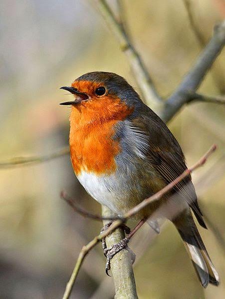 http://commons.wikimedia.org/wiki/File:Singing_Robin_%2812255436366%29.jpg