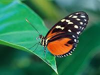 external image The-best-top-desktop-butterflies-wallpaper-hd-butterfly-wallpaper-3.jpg