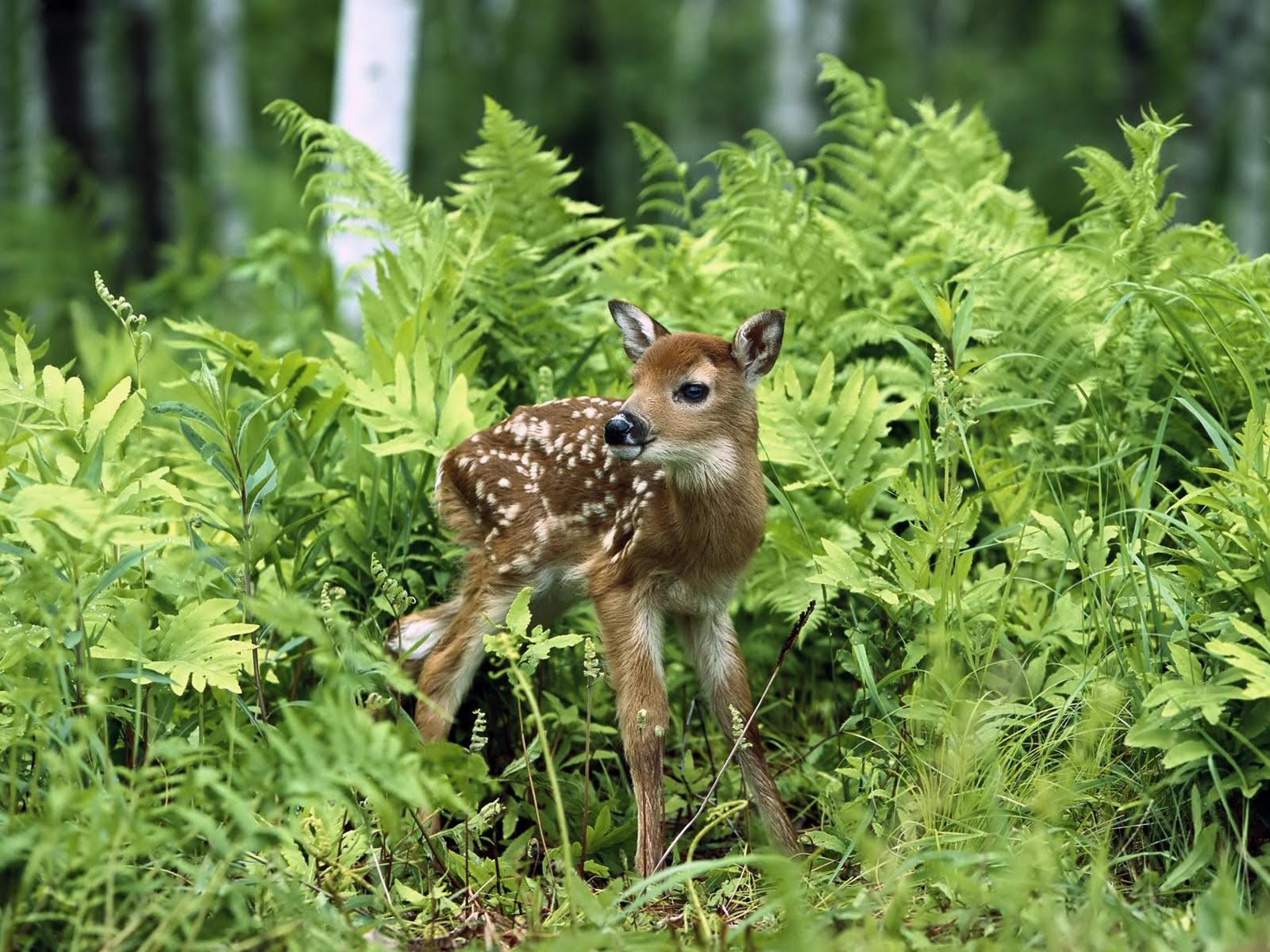 http://1.bp.blogspot.com/-LnprUj7R2FE/Td3vBGbBcwI/AAAAAAAAAww/eYDvVP7J05w/s1600/Newborn_chital_deer_%2528spotted_deer%252C_axis_deer%2529.jpg