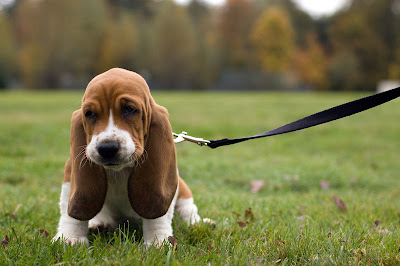 Basset Hound Puppies Pictures