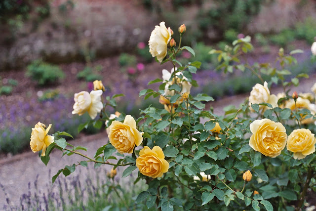 Yellow roses at Mottisfont Abbey