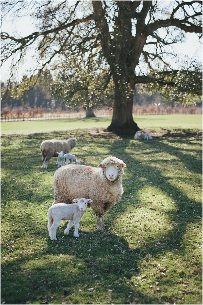 Sheep and lamb looking at camera