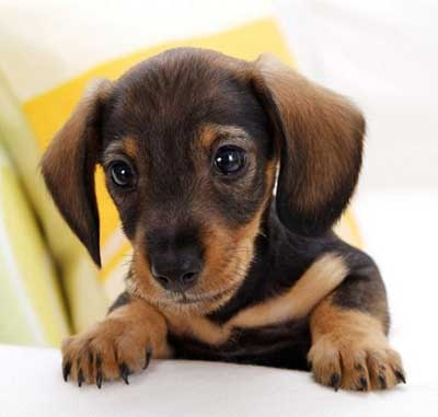 Cutest Dog Breeds In The World Dachshunds