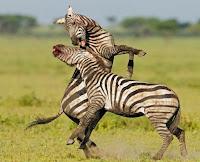 Dyluftim Zebrash