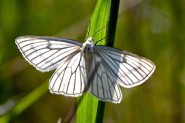 Schmetterlinge - Nachtfalter - Hartheu-Spanner