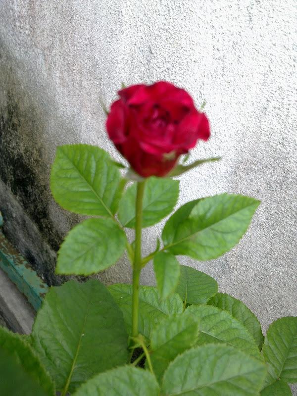 Tattoo Akar Bunga Mawar
