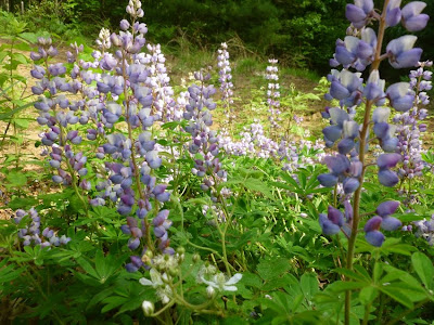 Wild blue lupine blooming on land protected by WWPP.  Photo taken last Saturday, 5/26/2012.   The Saratoga Skier and Hiker, first-hand accounts of adventures in the Adirondacks and beyond, and Gore Mountain ski blog.