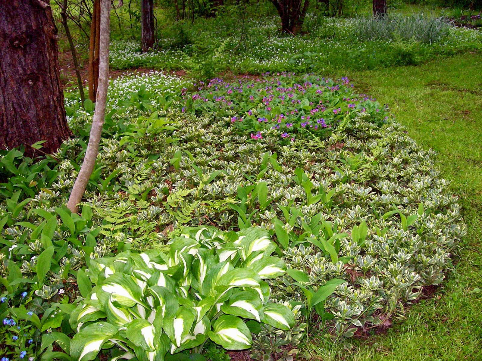 Forget Me Nots Blue Flower At Left Variegated Pachysandra To The Right Of Hosta Lily Valley And Purple Pink In Center Back Is