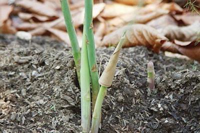 ดินที่เหมาะสมกับ การปลูกหน่อไม้ฝรั่ง