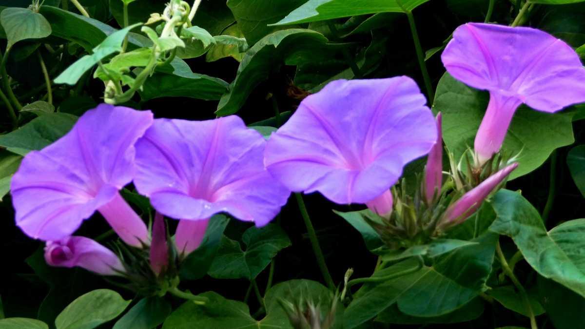 R o b i n 39 s y a r d ipomoea purpurea for Ipomea purpurea