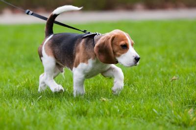 Leashing training your dog