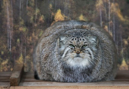 Pallas cats animals interesting facts latest pictures the pallas cat pet facts publicscrutiny Images