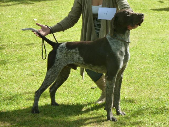 photo chien de chasse braque
