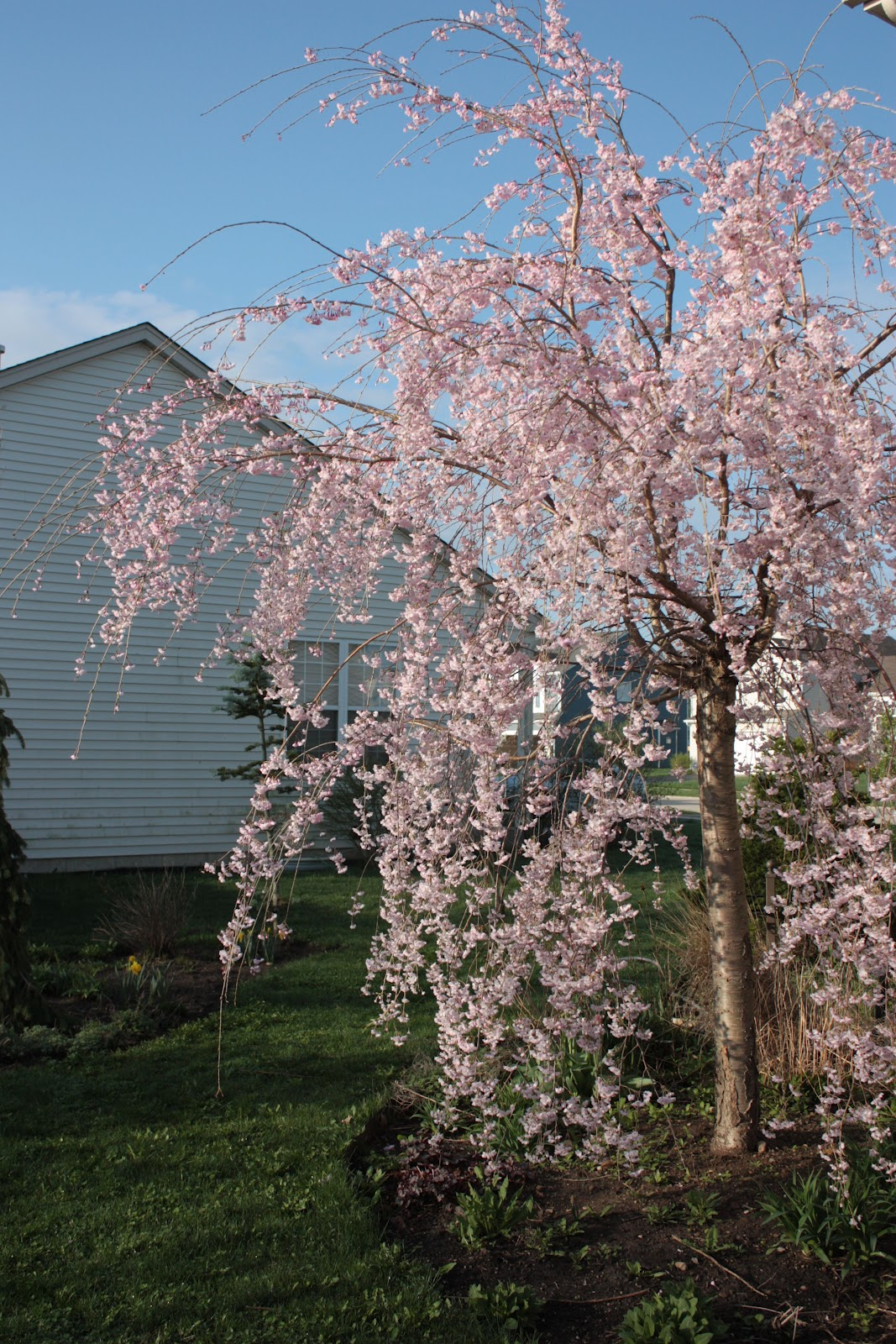 spring blooming trees the hortiholic