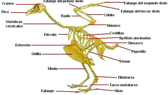 Ilustración del Esqueleto óseo de un ave indicando sus partes