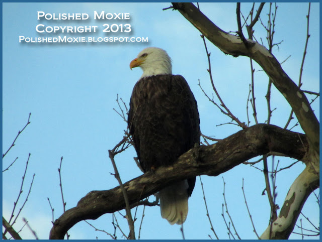 Image of an adult bald eagle perched in a tree.
