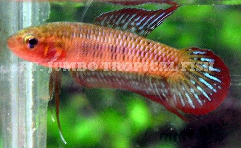 Wild fighting fish betta for Wild betta fish
