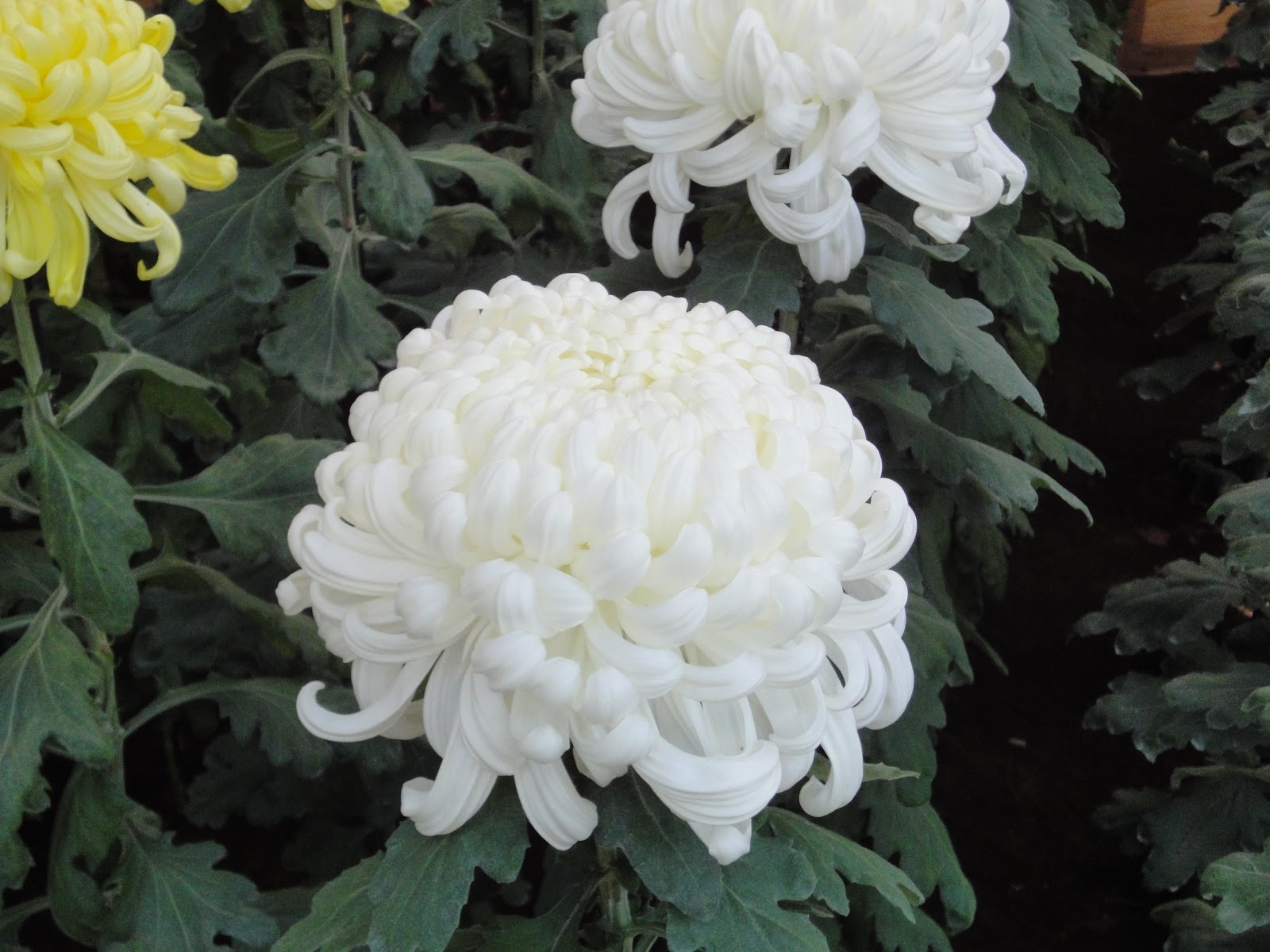 analysis on the chrysanthemums The chrysanthemums study guide contains a biography of john steinbeck, literature essays, quiz questions, major themes, characters, and a full summary and analysis about the chrysanthemums the chrysanthemums summary.
