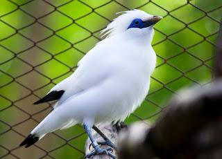 Bali Starling Birds