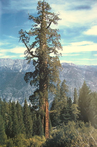 tallest Tree of the World