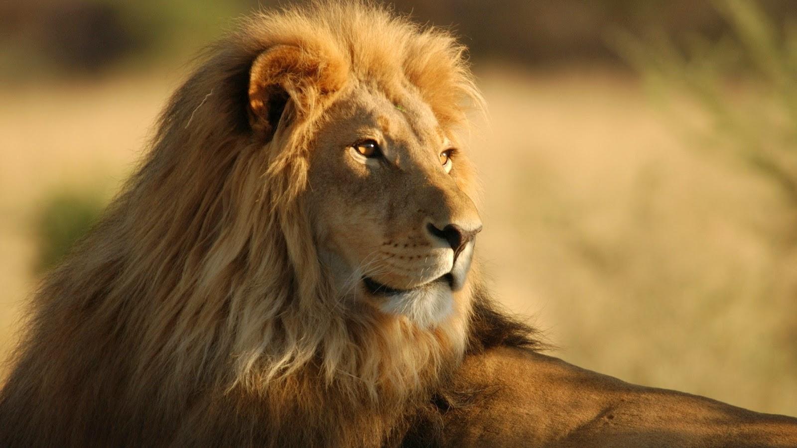 I leoni vivono in Africa e in Asia