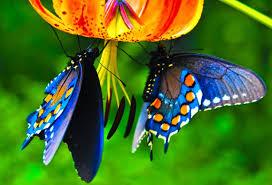 serangga mitos pembawa keberuntungan