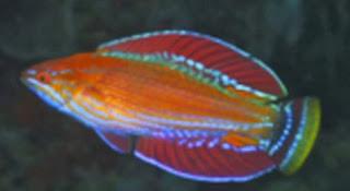 Paracheukunus Rennyae