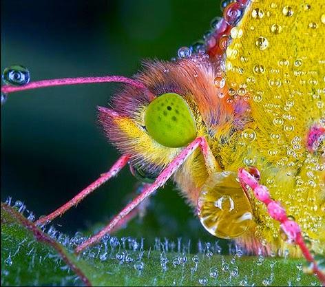 صور حشرات مغطاة بقطرات الندى .. سبحان الله. Insects_dew204