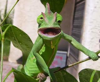 camaleão assustado