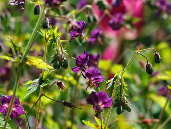 Smuk og nem staude der blomstrer i maj. Mørke blomster i haven. Stauder med mørke tegninger på bladene