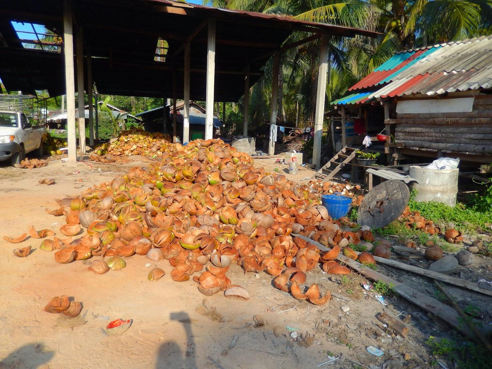 Koh Samui coconut plantation