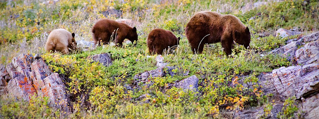 Black bear sow and cubs eating berries (c) John Ashley