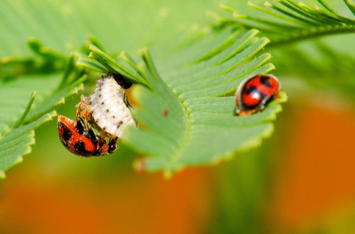 insectes et cetera les australiennes cochenilles et coccinelles. Black Bedroom Furniture Sets. Home Design Ideas
