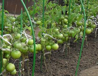20.08. Безрассадные помидоры пришлось обрезать раньше времени. Очень резко заболели почти все листья. Ледяные ночные росы сделали свое черное дело.