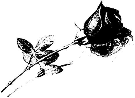 Mawar Putih Terajut Pilu - Cerpen Cinta Sedih