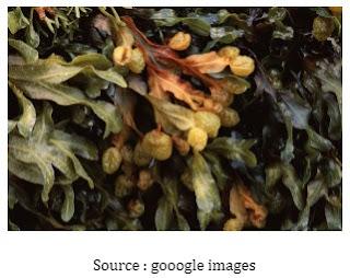 Ciri – Ciri Phaeophyta atau Ganggang Coklat
