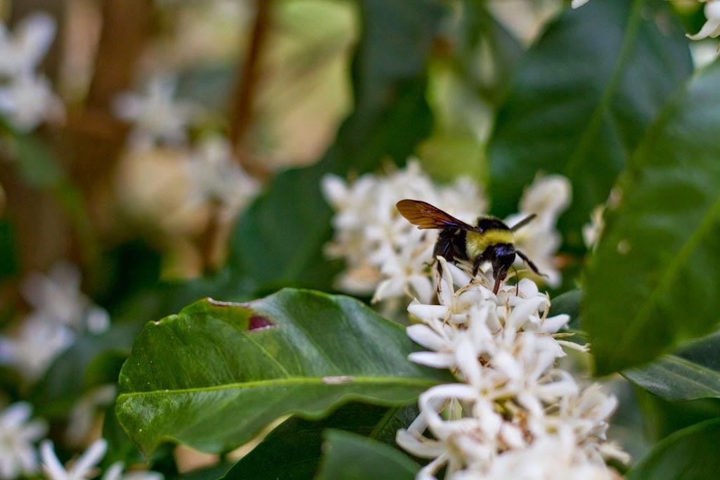 Cachos de flores no cafeeiro e abelha Mamangava. Foto: Yuri Hayashi