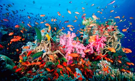 Coral Reef Near Fiji www.guardian.co.uk