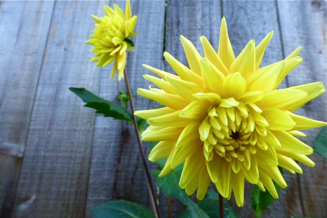 dahlia, cactus dahlia, yellow dahlia