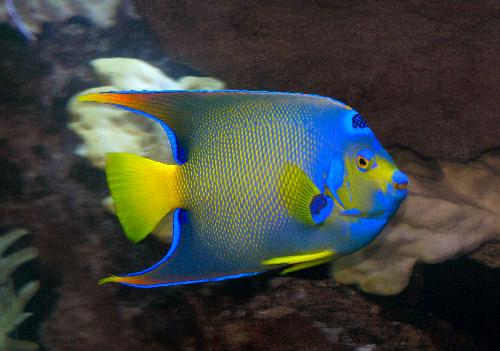Animals wallpapers queen angelfish for Queen angel fish