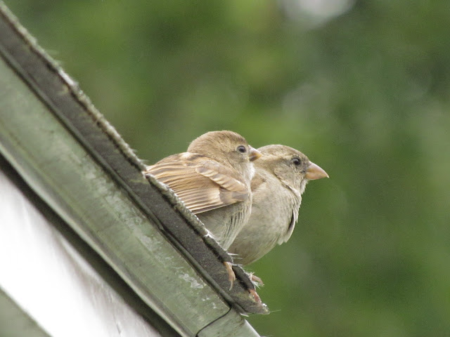 two young house sparrows on roof look out at yard