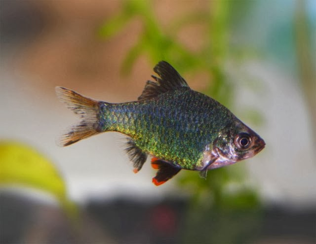 green tiger barb fish profile