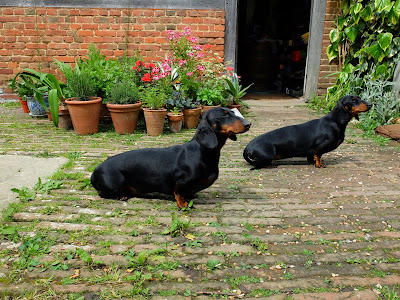 Current Great Dixter Dachshunds