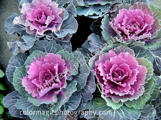 Cabbage flower purple center-Brassica oleracea