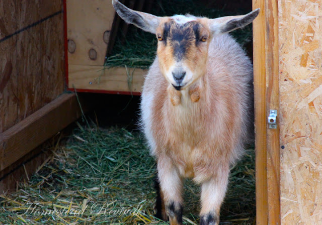 Considering A Dairy Goat? – 3/5/12