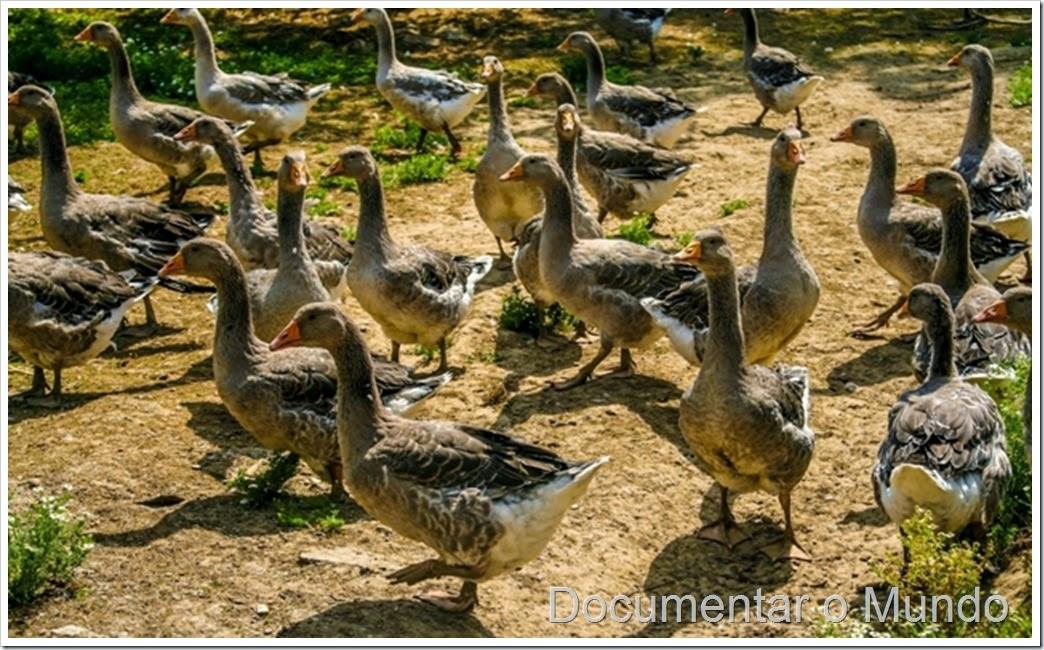 Gansos de Toulouse; foie gras; La Campagnoise