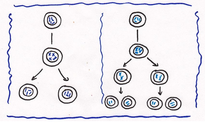 Cuales Son Los Dos Tipos De Reproduccion Celular