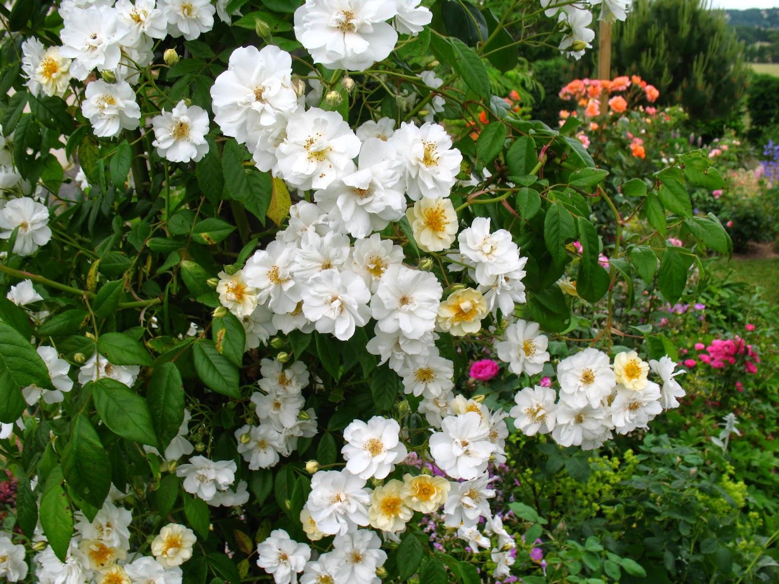 Roses du jardin ch neland rosier ch teau du rivau - Quand couper les rosiers ...