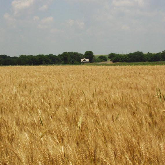 foto ladang gandum